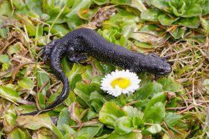 protect newts Lancashire